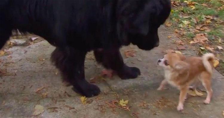 Este pequeno chihuahua salva seu irmão mais velho de um ladrão de cães