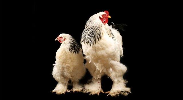 ¿No ves nada extraño en la imagen? Pues el gallo gigante del video viral es REAL