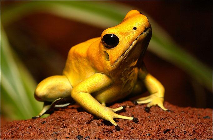 the-golden-dart-frog