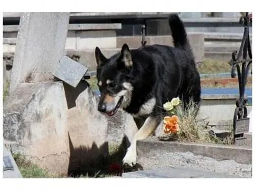 capitan el perro que cuida la tumba de su amo (2)