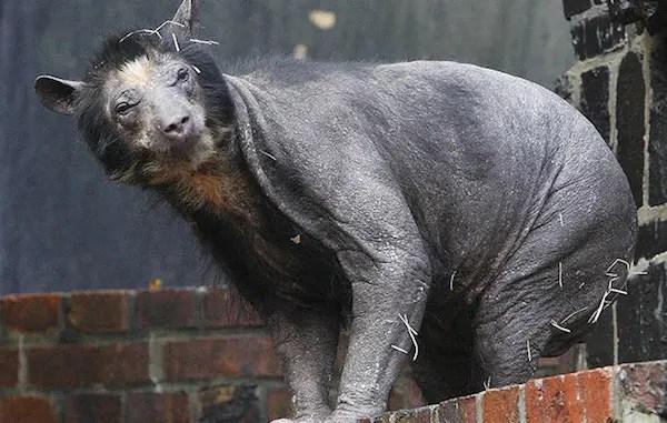 los animales mas feos Oriental-Yeti
