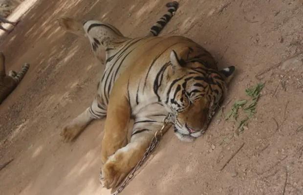tigre3