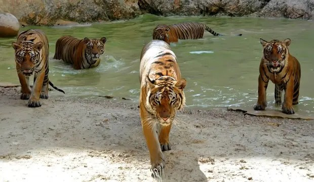 tigreslnih