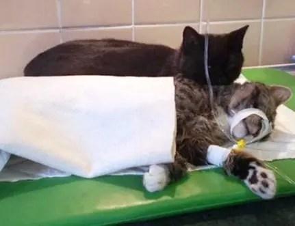 gato-negro-enfermero-herida