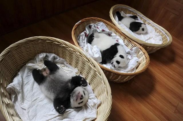 panditas-bebes-en-canastas-12