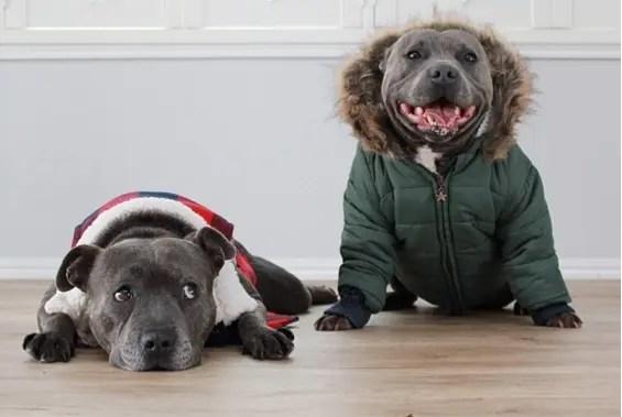 hermanos pitbull 6