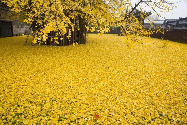 arbol-antiguo-amarillo-china7