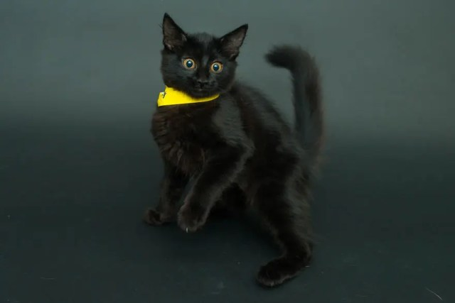 gatos negros adopcion 2