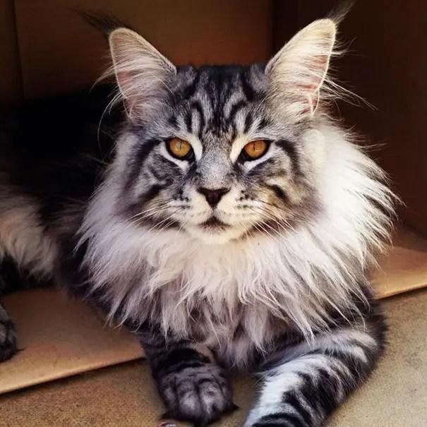 gato coon 2