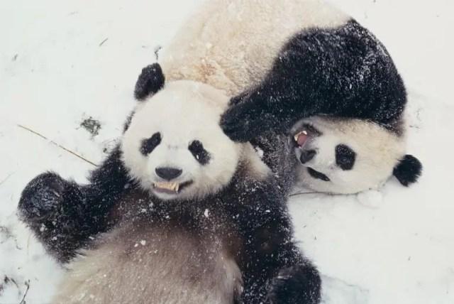 animales jugando en nieve 1