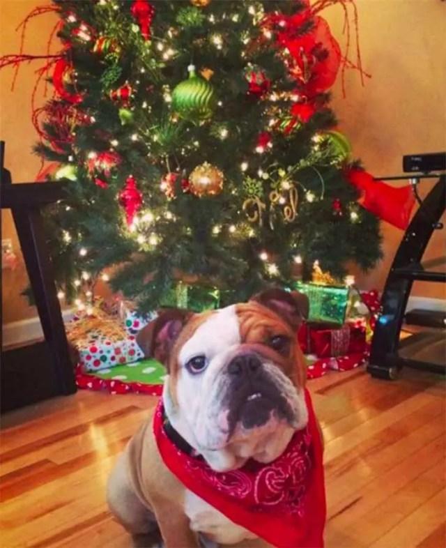 familia-perros-navidad10