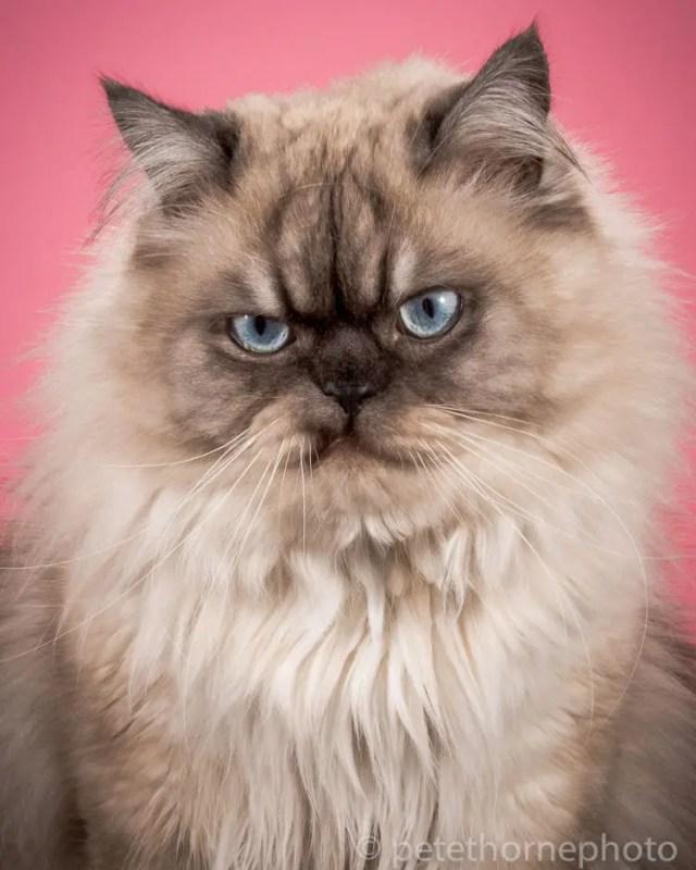 fotografia-gatos-gordos-12