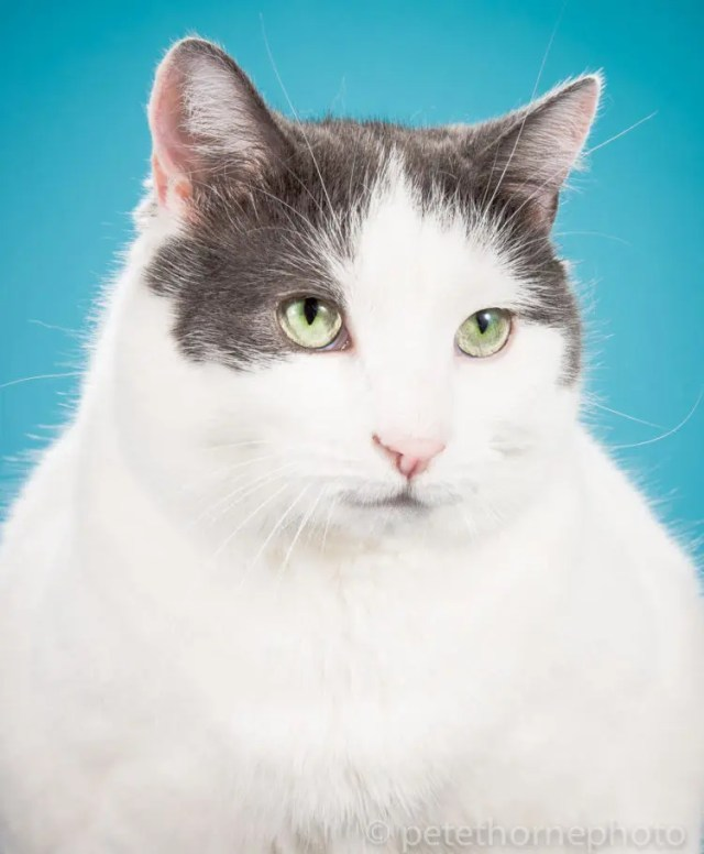 fotografia-gatos-gordos-4