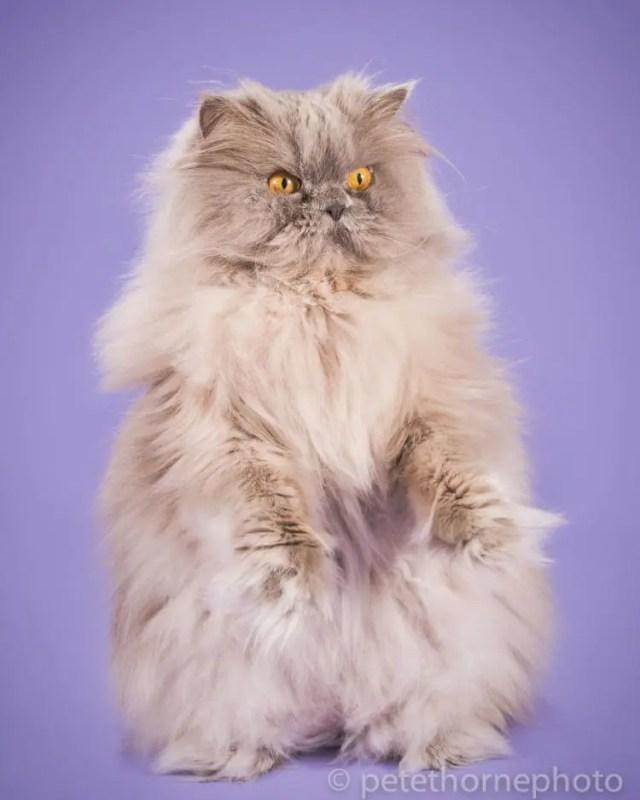 fotografia-gatos-gordos-6