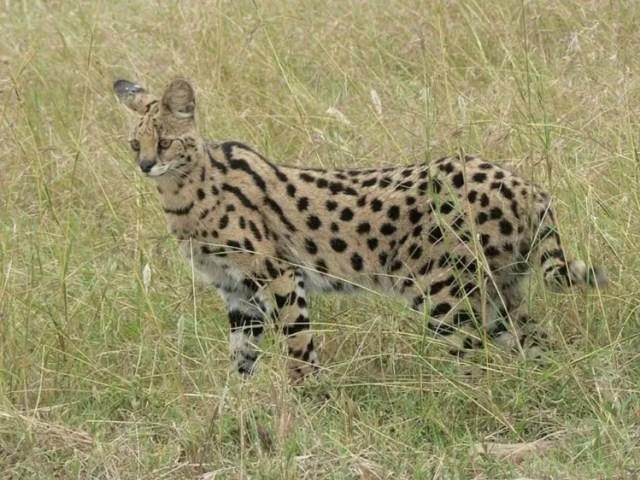 especies-felinas-peligro-extincion-12