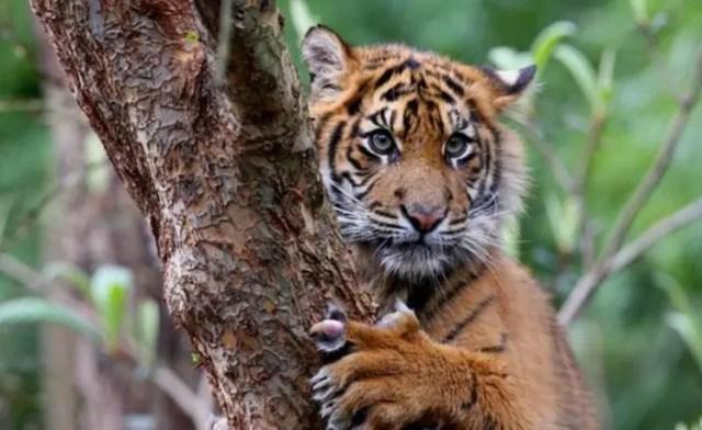 especies-felinas-peligro-extincion-18