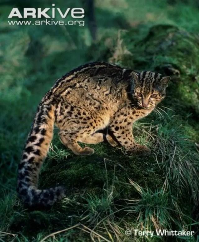 especies-felinas-peligro-extincion-20