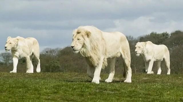 especies-felinas-peligro-extincion-24