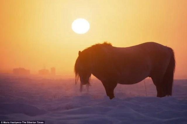 caballos-yakutos-5