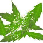 uses of neem