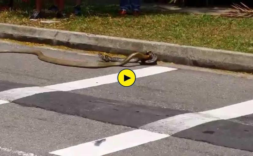 Snakes from the wild in University – Cobra vs python Singapore