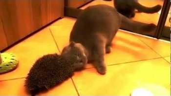 Cat Uses Hedgehog As Scratching Post