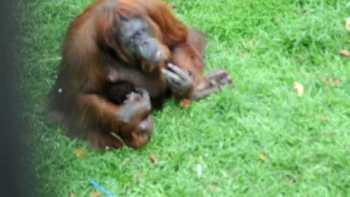 Orangutan Smoking At Malaysian Zoo