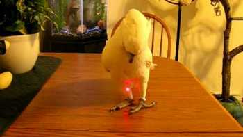 Bird Chases Laser Pointer