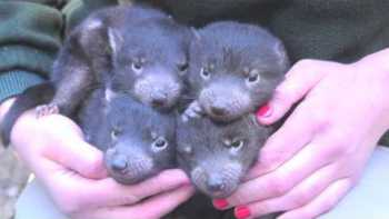 Cute Baby Tasmanian Devils At Sydney Zoo