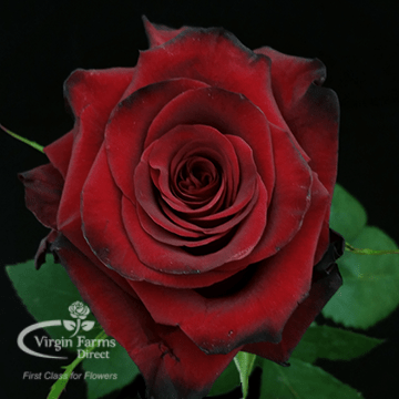 Red Roses Archives Virgin Farms