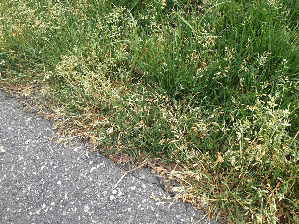 bluegrass weeds