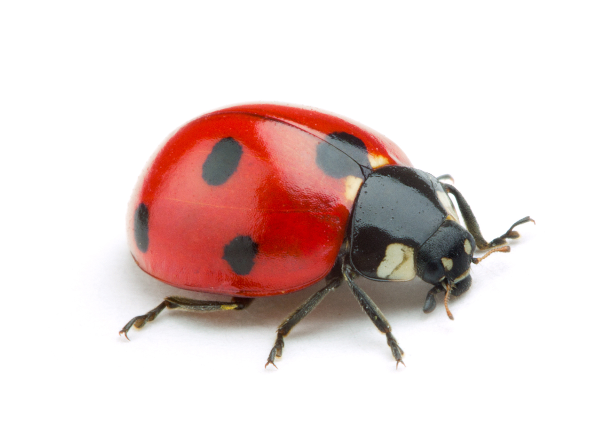 Why Are Ladybugs In My House During The Winter