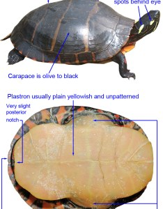 upper jaw notched at midline and bordered on each side by small cusps light transverse lines across carapace eastern painted turtle chrysemys picta also id guide rh virginiaherpetologicalsociety