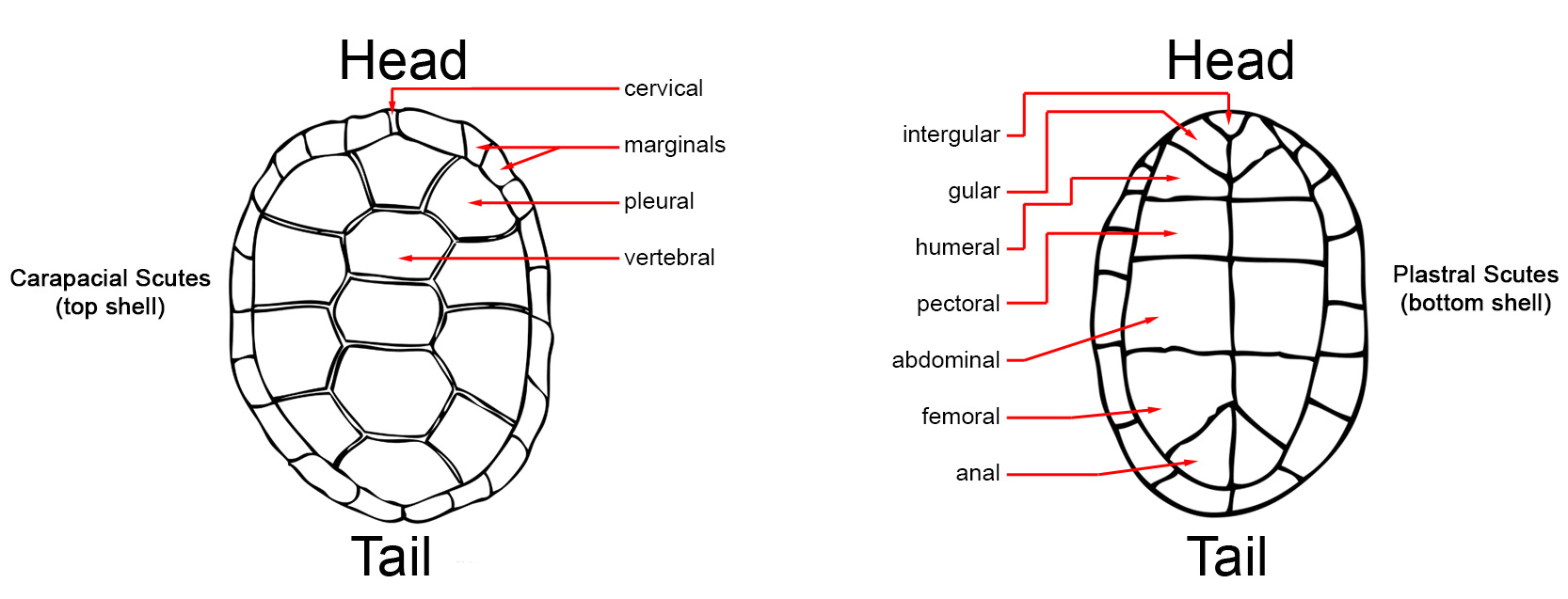 diagram turtle s head combination switch and outlet wiring id guide a the 1st vertebral scute is triangular 4 pleural scutes per side click here section