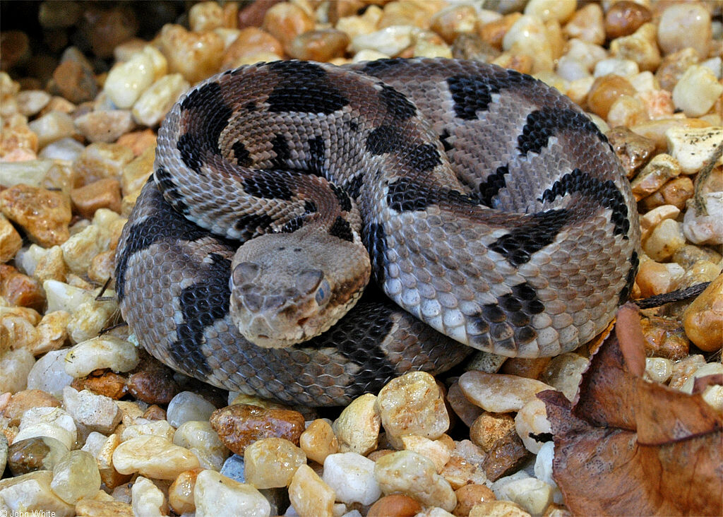 https://i0.wp.com/www.virginiaherpetologicalsociety.com/reptiles/snakes/timber-rattlesnake/sp_timberrattlesnake002.JPG
