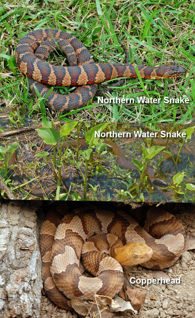 https://i0.wp.com/www.virginiaherpetologicalsociety.com/venomous-look-a-likes/copperhead-look-a-likes/images/nwater-vs-copperhead.jpg