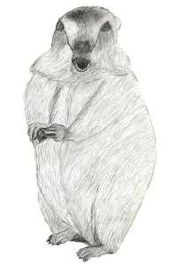Dessin de marmotte aux crayons graphites