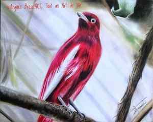 Dessin aux pastels secs d'un oiseau rouge , le Pompadour cotinga, sur fond de végétation floutée réalisé par l'artiste peintre et portraitiste animalière Virginie Brassart