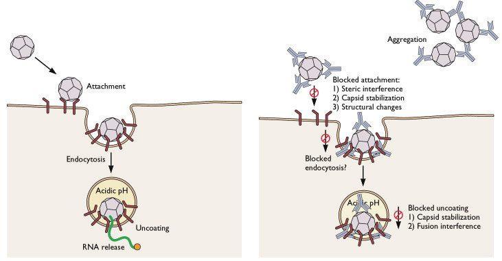 antibody-neutralization