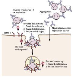 diagram of a viru cell [ 1092 x 1158 Pixel ]
