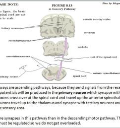 a sensory pathway [ 1029 x 776 Pixel ]