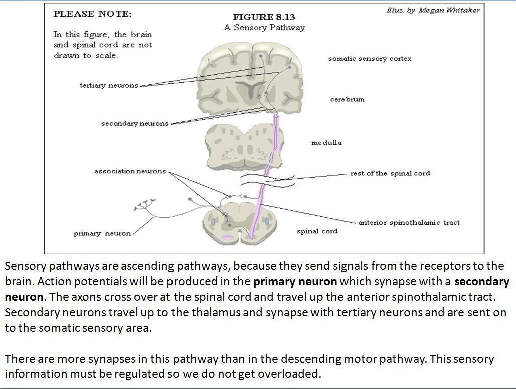 hight resolution of a sensory pathway