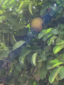 The grapefruit tree that is really a lemon tree