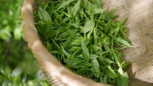 Thé vert : bien le préparer pour profiter de ses bienfaits
