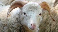 France : 4 Algériens interpellés pour avoir égorgé deux moutons dans la rue