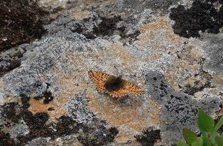 Herdersparelmoervlinder (Boloria pales)