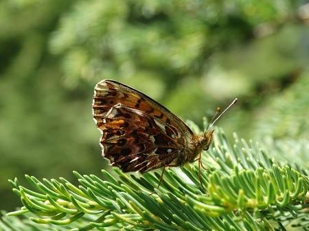 Paarse parelmoervlinder (Boloria dia)