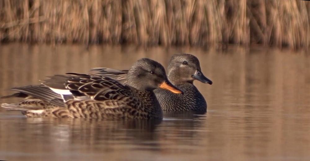 krakeend mannetje en vrouwtje
