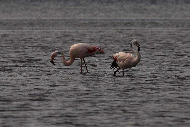 flamingo s in de zomer bij battenoord in het grevelingenmeer