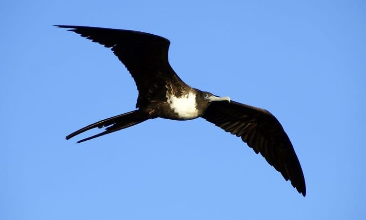 amerikaanse fregatvogel vogels kijken op aruba